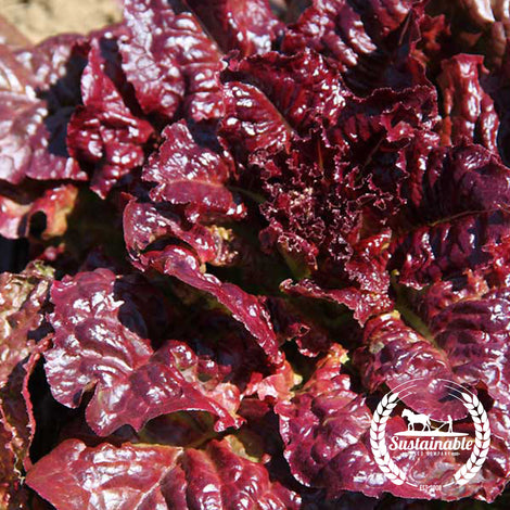 Ruby Lettuce Seeds - Non-GMO