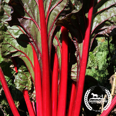 Organic Ruby Red Chard Seeds