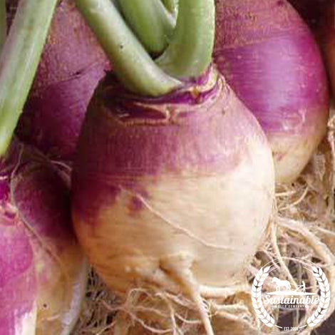 American Purple Top Rutabaga Seed
