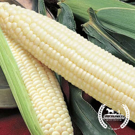 Silver Queen Hybrid Sweet Corn Seeds - Non-GMO