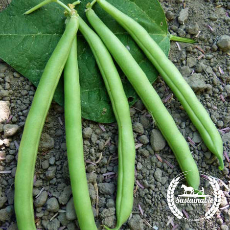 Slenderette Bush Bean Seeds - Non-GMO