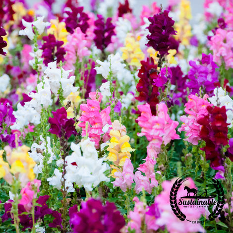 Snapdragon Tetra Mix Flower Seeds - Non-GMO