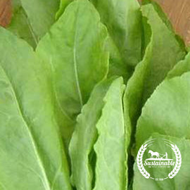 Large Leaf Sorrel Herb Seeds