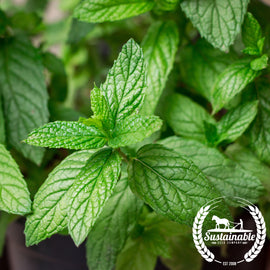 Spearmint Herb Seeds - Non-GMO