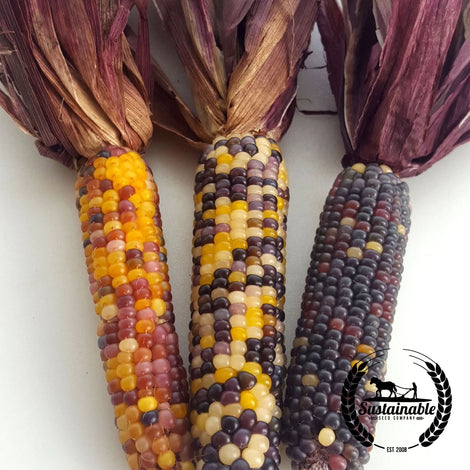 Spectrum Red Husk Corn Garden Seeds