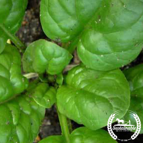 Giant Nobel Spinach Seeds