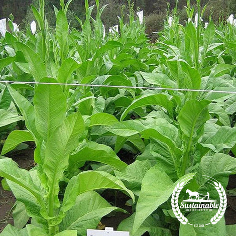 Stag Horn Tobacco Seeds