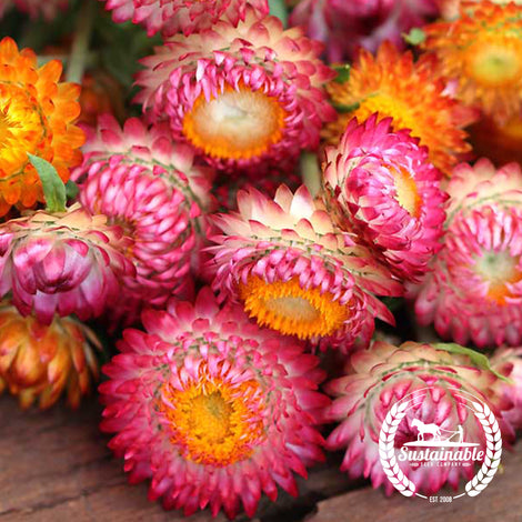 Strawflower Flower Garden Seeds