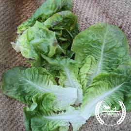 Summer Bibb Lettuce Seeds