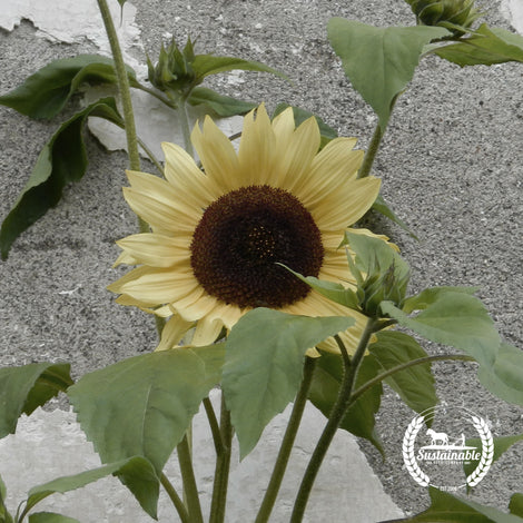 Sunflower, Vanilla Ice Flower Seeds - Non-GMO