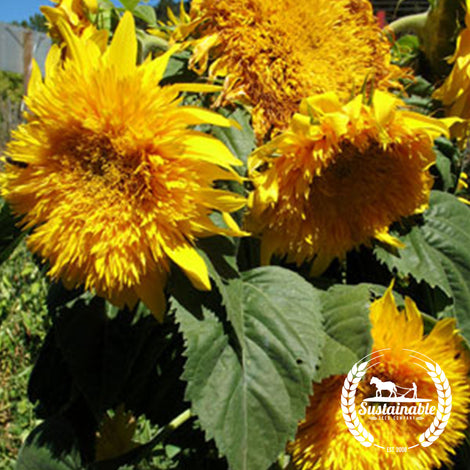 Organic Sunflower Sungold Dwarf Flower Seeds