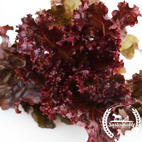 Sunset Lettuce Vegetable Seeds