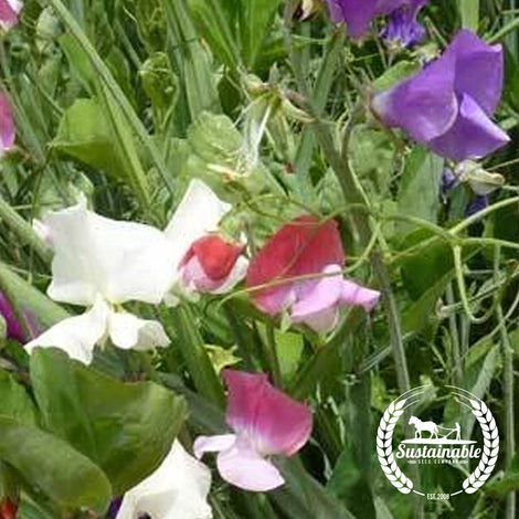 Sweet Pea Royal Family Mix Flower Seeds