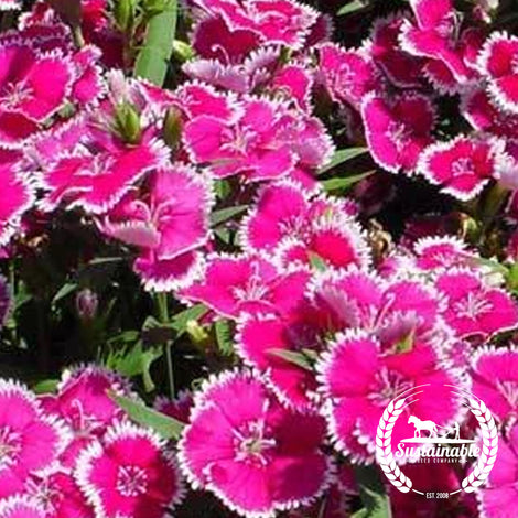 Sweet William Single Mix Flower Seeds