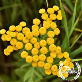 Tansy Herb Seeds