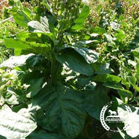 Hopi Tobacco Seeds