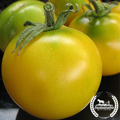 Scotland Yellow Tomato Seeds - Non-GMO