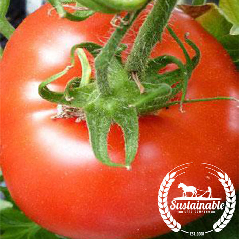 Organic Super Sioux Tomato Seeds