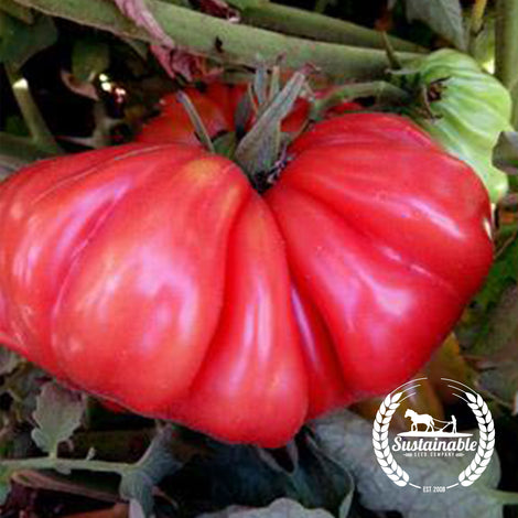 Zapotec Pleated Tomato Seeds - Non-GMO