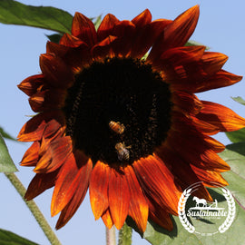Velvet Queen Sunflower Seeds - Non-GMO