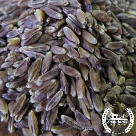 Blue Tinge Ethiopian Wheat Grain Seeds
