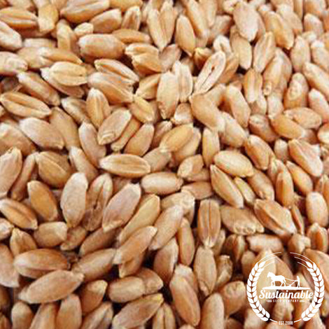 Organic Bolero Wheat Seeds - Non-GMO