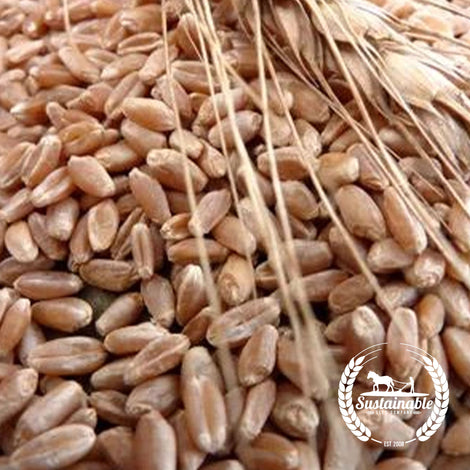 Organic Hard Red Spring Wheat Grain Seeds