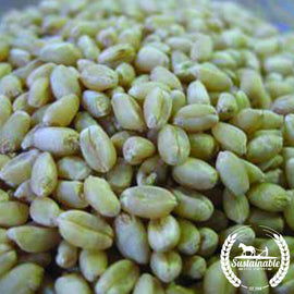 Hard White Wheat Seeds