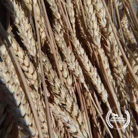 Organic Purplestraw Wheat Seeds