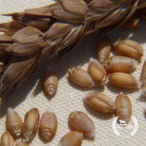 Organic Red Clawson Wheat Seeds