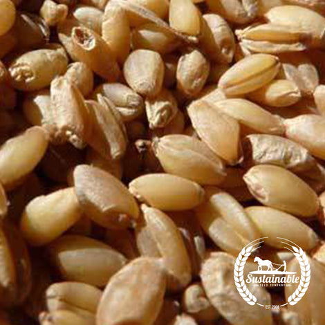 Wit Wokoring Wheat Seeds - Non-GMO