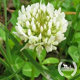 White Dutch Clover Seeds - Non-GMO