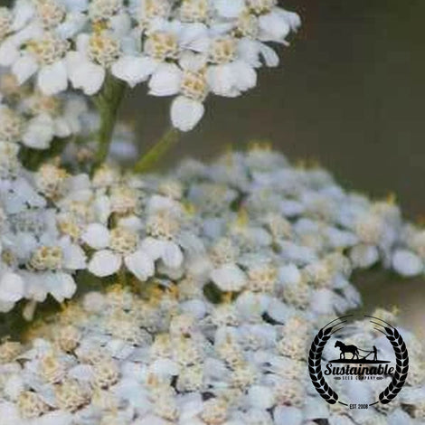 White Yarrow Herb Seeds - Non-GMO