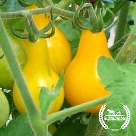 Yellow Pear Tomato Seeds - Non-GMO