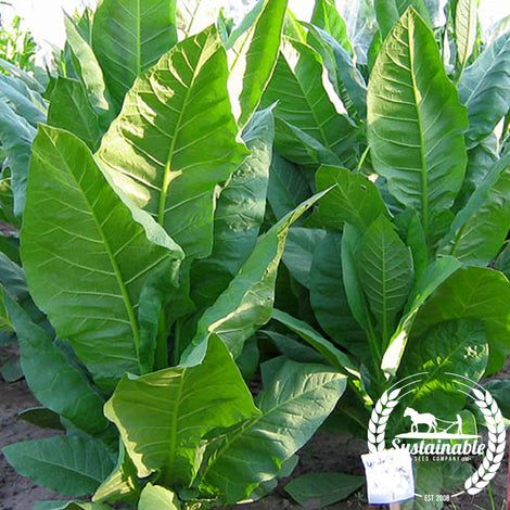 Yellow Pryor Tobacco Seeds - Non-GMO