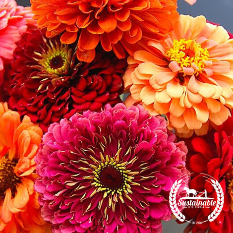 Zinnia California Giants Mix Flower Seeds - Non-GMO