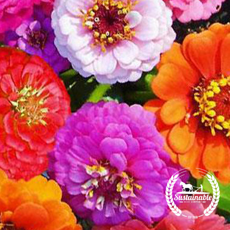Zinnia Lilliput Flower Seed Mix - Non-GMO