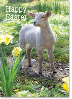 Happy Easter - Lamb In Daffodils (order in 6)