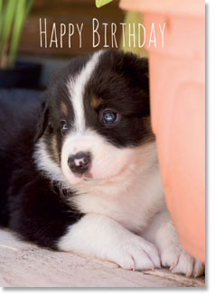 Happy Birthday : Border Collie pup (order in 6)