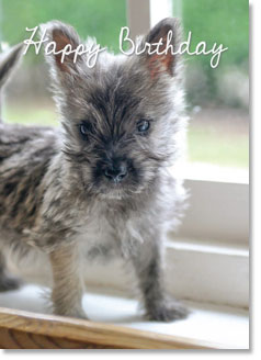 Happy Birthday: Cairn Terrier