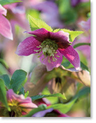 Petite Card –  Blank: Hellebore - KI Gifts Christian Supplies