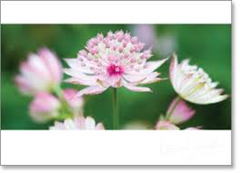 Inspire - Blank: Pink Astrantia flowers - KI Gifts Christian Supplies