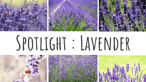 Spotlight : Lavender - Hidden Valley Co