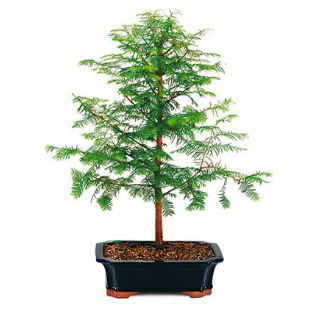Dawn Redwood Bonsai Seeds (Pack of 50) - Ridaaz Home