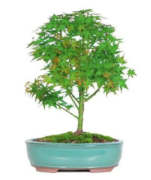 Japanese Green Maple Bonsai Seeds (Pack of 100) - Ridaaz Home