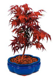 Japanese Red Maple Bonsai Seeds (Pack of 100) - Ridaaz Home