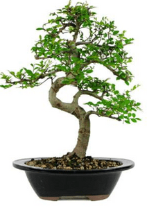 Chinese Elm Bonsai Seeds (Pack of 50) - Ridaaz Home