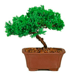 Green Mound Juniper Bonsai Seeds (Pack of 100) - Ridaaz Home