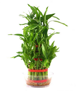Lucky Bamboo Bonsai - Ridaaz Home