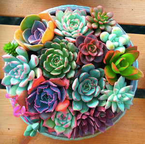 Mix Flower Succulents (Pack of 100) - Ridaaz Home